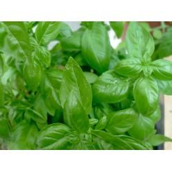 Basilic grand vert (botte)